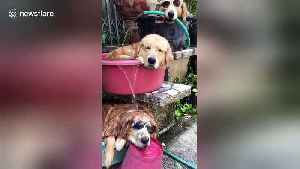 'Hot dog fountain!' Three golden retrievers cool off using buckets and a hose [Video]