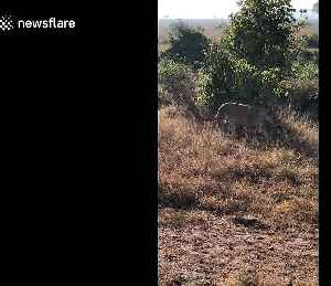 Lucky US safari-goers spot 'rare' lion and her four cubs in Tanzania [Video]