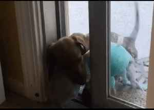 Small Dog, Big Problem: Dachshund Struggles to Get Inside With Stuffed Toy [Video]