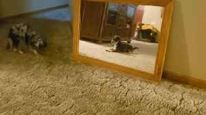 Tiny Dog Confused by Reflection [Video]