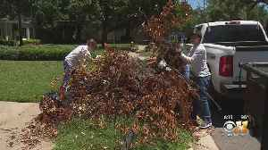 High School Students Help Clean Storm Debris From Fallen Trees In Dallas [Video]