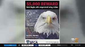 Reward In Search For Stolen Bald Eagle [Video]