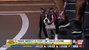 Pet of the Week: Mercy is a 4-year-old Boston terrier looking for an active family [Video]