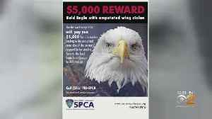 News video: Up To $5,000 Reward Offered For Help Recovering Stolen Bald Eagle