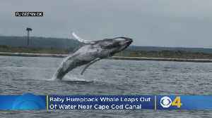 Baby Humpback Whale Leaps Out Of Water Near Cape Cod Canal [Video]