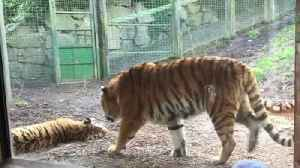 This Is The Real Reason You Should NEVER Wake A Sleeping Tiger [Video]