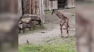 Baby giraffe comes face to face with young rabbit [Video]