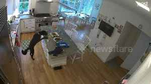 US security camera catches sneaky dog stealing chicken from table [Video]
