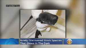 Scientists Discover New Species Of Shark That Glows In The Dark [Video]
