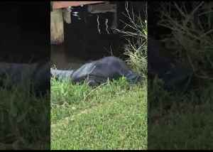 Manatee Comes Ashore in Florida to Feast on Grass [Video]