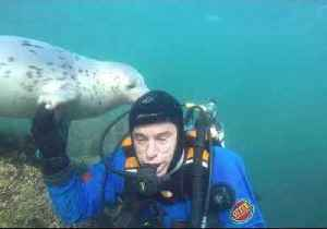 Friendly Grey Seal Tries to Remove Diver's Hood [Video]