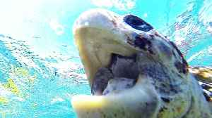 Critically endangered sea turtle chomps on tourist's arm [Video]
