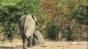Huge African elephant has an itch he just can't scratch [Video]
