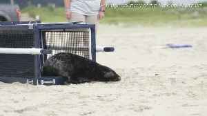 Abandoned seal back in the wild after being rehabbed by the National Aquarium [Video]