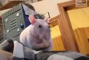 This hairless rat loves his mom [Video]