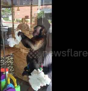 No monkeying around! Capuchin cleans windows in Houston [Video]