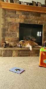 English Bulldog & Himalayan cat are the best of friends [Video]