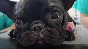 French bulldog puppy has surgery to help her breathe [Video]