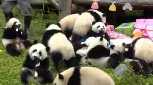 Watch: Panda party in China as 18 cubs celebrate their first birthdays [Video]