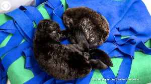 WEB EXTRA: Nap Time For Baby Otters [Video]