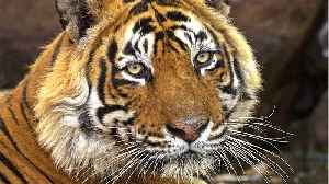Tiger Beat To Death By Villagers In India [Video]