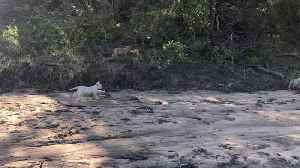Rare Footage Captured White Lion Cub Walking Through Kruger National Park, One Of Only 15 Left In Wild [Video]