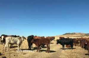A cash cow? App sells investors shares in cattle [Video]