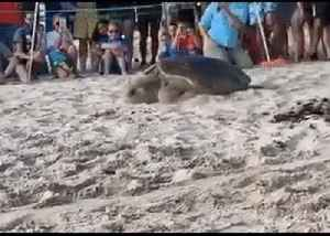 And...They're...Off...: Florida Sea Turtles Slowly Begin 'Marathon' [Video]