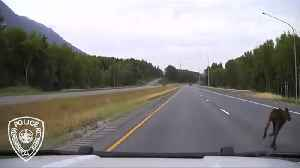 Patrol car nearly crashes into crossing moose [Video]