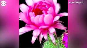 WEB EXTRA: Blooming Cactus Flower Time-Lapse [Video]