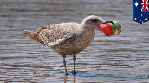 Seabirds becoming tinier in size due to plastic pollution [Video]