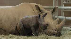 Southern white rhino birth could save subspecies from extinction [Video]