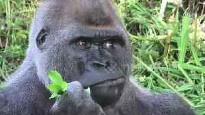 Silverback gorilla in UK zoo eats his greens to get summer body ready [Video]