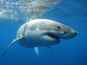 Great White Sharks Are Invading Cape Cod [Video]