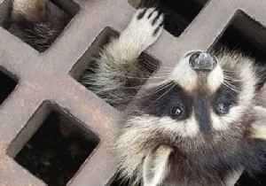 Raccoon Rescued From Sewer Grate in Massachusetts [Video]