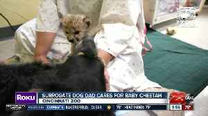 Surrogate dog dad cares for baby cheetah [Video]