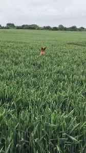 Dog Hops Excitedly in a Crop Field [Video]