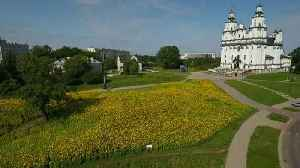 Polish city becomes awash with yellow thanks to blooming sunflower field [Video]
