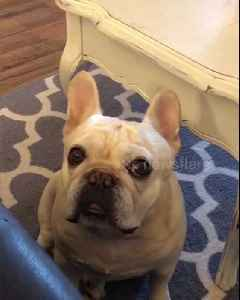 Angry French bulldog throws a tantrum like a child over Cheerios [Video]
