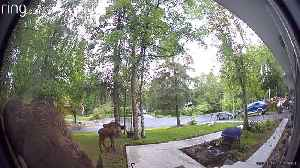 Moose Munching on Porch Flowers [Video]