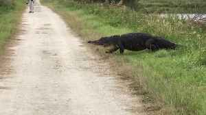 Massive alligator surprises hikers along walking trail [Video]