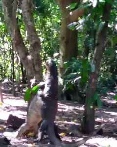 Two Monitor Lizards Spotted Wrestling With Each Other [Video]