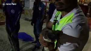Huge king cobra caught after swallowing a wild monitor lizard in Thailand [Video]