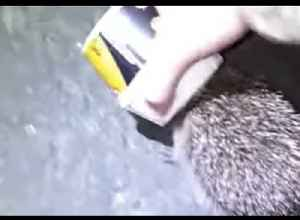 Man Rescues Hedgehog With Cup Stuck on Head Near Loch Lomond [Video]