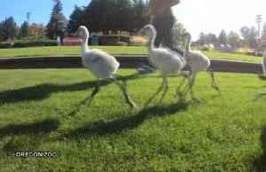 Run, flamingo, run! Baby flamingos exercise in zoo [Video]