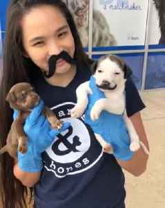 Cute little puppy shows off adorable mustache [Video]