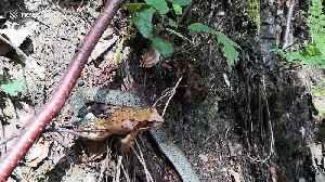 Huge frog eaten by tiny garter snake [Video]