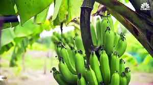 More Signs Banana Could Go Extinct [Video]