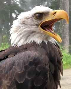 Outspoken Bald Eagle [Video]