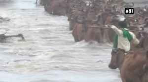 Cattle herders risk lives of cows to cross flooded river in Gujarat Godhra [Video]